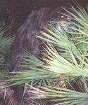 alleged Myakka Skunk Ape photograph taken in 2000